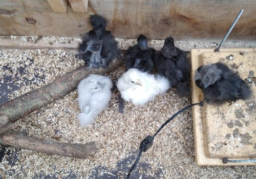 Så blev kyllingerne fire uger!
