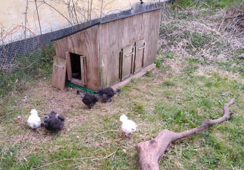 Seks uger gamle er kyllingerne nu!