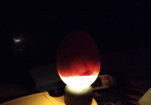 Lysning af æg (18. dagen)