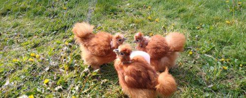 Tre store røde kyllinger!