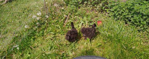 De to sorte kyllinger