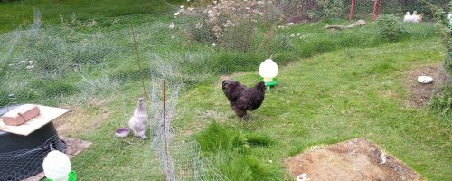 Den sorte hane og en bonus