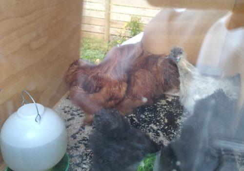 Housewarming hus 2 – kyllingerne fra Jylland flytter ind