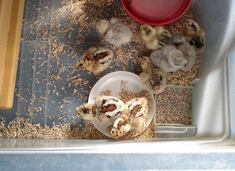 kyllinger fra kuld 3 2020
