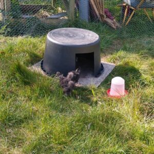 kyllinger i baljehus - hvordan sætter man høns sammen