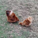 Gule silkehøns