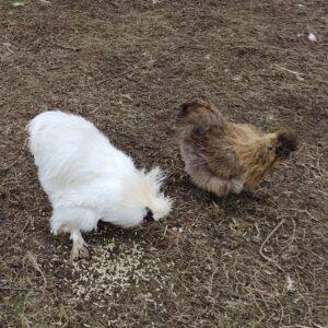 Hvid og guldvildtfarvet silkehøns