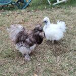 Splash og hvid silkehøns