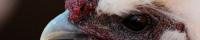 Silkehaven.dk logo - silkehøns